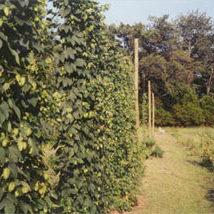 Hallertauer hops growing in Waldron,  Arkansas.