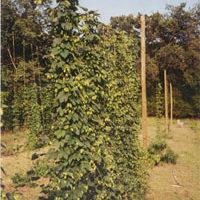 Cascade hops growing in Waldron,  Arkansas.